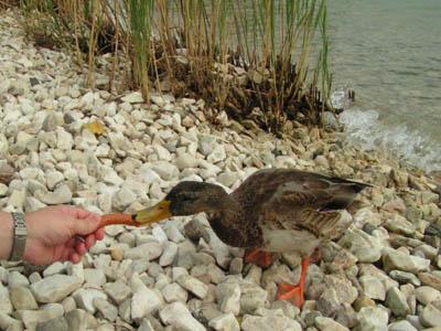 Wurstfressende Ente